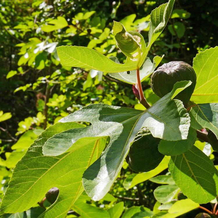 Pohon Ara: Sebuah Hikayat