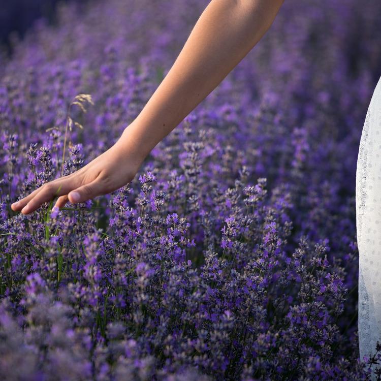 Lavendel, si Ungu Ajaib Mediterania